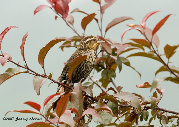 "<div class=""jaDesc""> <h4>Female Red-winged Blackbird in Crabapple Tree - July 28, 2007 </h4> <p>As part of her site surveying routine, the female Red-winged Blackbird will usually move among several perches before beginning to ground feed.</p> </div>"