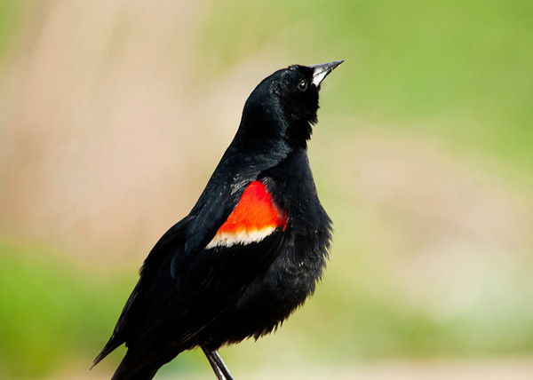 "<div class=""jaDesc""> <h4> Male Red-winged Blackbird - Beak High - April 21, 2013</h4> <p> When a group of male Red-winged Blackbirds are near each other, they all stick their beaks up trying to be the highest beak.  Highest beak must win ""most dominant"" status.</p> </div>"