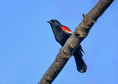 Red-winged Blackbird on Blue Sky Day - May 8, 2018 It was a beautiful sunny day at Dryden Lake, NY.  This Red-winged Blackbird landed on a tree branch just above me.
