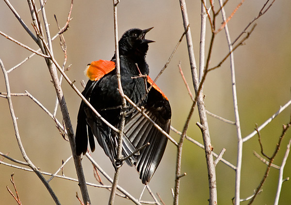 """<div class=""""jaDesc""""> <h4>Male Red-winged Blackbird Displaying Wing Bars - April 14, 2008</h4> <p>  Several of the male Red-winged Blackbirds are competing for dominance.  This guy was putting on quite a flared wingbar display along with his loud screeching.</p> </div>"""
