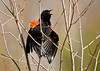 "<div class=""jaDesc""> <h4>Male Red-winged Blackbird Displaying Wing Bars - April 14, 2008</h4> <p>  Several of the male Red-winged Blackbirds are competing for dominance.  This guy was putting on quite a flared wingbar display along with his loud screeching.</p> </div>"