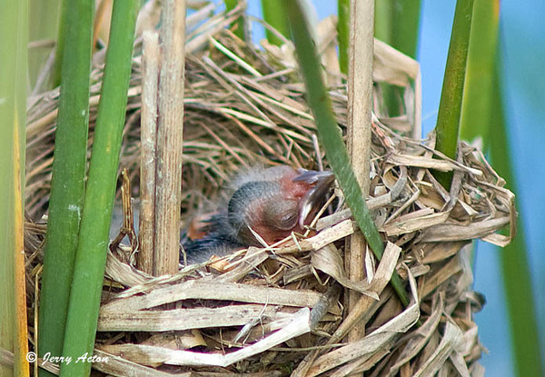 "<div class=""jaDesc""> <h4>Red-winged Blackbird Chick in Nest - June 30, 2009</h4> <p>  A neighbor invited me over to see Red-winged Blackbird chicks in nests along the edge of their pond.  This chick was napping peacefully with it's chin on the side of the nest.  There were 3 nests within 50 feet of each other, all built in the cattails.</p> </div>"