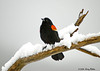"<div class=""jaDesc""> <h4>Red-winged Blackbird on Snowy Limb - March 27, 2008</h4> <p>  This is the ""Boss"" among about 100 Red-winged Blackbirds that descended in our yard off and on all day long.  He was putting on big wingbar displays for the ladies and bullying all the other males out of his way.  He looks rather sedate in this shot.</p> </div>"