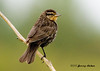 "<div class=""jaDesc""> <h4>Female Red-winged Blackbird Searching Area - June 30, 2007 </h4> <p>When the female Red-winged Blackbird first arrives at the feeding area, she carefully surveys the site for any danger before proceeding to ground feed.</p> </div>"