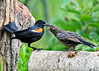 "<div class=""jaDesc""> <h4>Dad Red-winged Blackbird to the Rescue - August 6, 2014</h4> <p> Dad Red-winged Blackbird managed to find some left over seed from yesterday.  The youngster was very appreciative.  I quickly went out and dispensed lots of seed in all the feeders.</p> </div>"