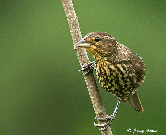 "<div class=""jaDesc""> <h4>Female Red-winged Blackbird on Perch - August 2, 2009</h4> <p>  Now that the Red-winged Blackbirds are done nesting, the females are visiting our feeder areas again.  This gal is on the lookout for the Goshawk that has been making periodic runs by our house.</p> </div>"