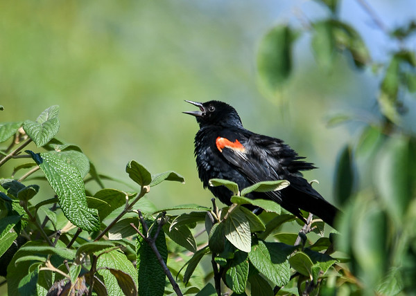 "<div class=""jaDesc""> <h4>Male Red-winged Blackbird Calling - July 17, 2016</h4> <p>The Red-winged Blackbirds never seem to be finished with defending their territory. </p></div>"