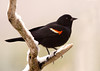 "<div class=""jaDesc""> <h4>Male Red-winged Blackbird on Snowy Perch - April 13, 2007 </h4> <p> We had a surprise Spring snowfall this morning.  This guy was eager to get to the sunflower feeder.</p> </div>"