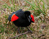 "<div class=""jaDesc""> <h4>Dominant Male Red-winged Blackbird - March 21, 2010</h4> <p>  There is no doubt that this male Red-winged Blackbird is the dominant male.  When he flies in, all the other blackbirds give him whatever room he wants.  Now that the females have arrived, he is flaring his wings bars and SCREECHING for all he is worth.</p> </div>"