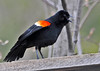 "<div class=""jaDesc""> <h4>Male Red-winged Blackbird Screeching - Side View - April 26, 2014</h4> <p> There are 3 times as many male Red-winged Blackbirds around as there are females.  Seems like the loudest guys get the females, so they are all screeching for attention.</p> </div>"