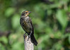 "<div class=""jaDesc""> <h4>Immature Female Red-winged Blackbird on Perch - July 17, 2016</h4> <p>I love the golden yellow coloring on this immature female Red-wing Blackbird. She cooperated nicely for this portrait shot. </p></div>"