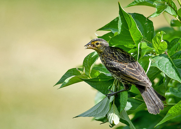 "<div class=""jaDesc""> <h4>Juvenile Female Red-winged Blackbird with Beak Full - July 5, 2016</h4> <p>After gathering shelled sunflower seeds, the juvenile female Red-winged Blackbird flew to our red-twigged dogwood bush. </p></div>"