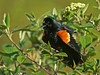 "<div class=""jaDesc""> <h4>Red-winged Blackbird - My Bush!! - May 11, 2009</h4> <p>  This male Red-winged Blackbird wanted all the other birds out of ""his"" viburnum bush as he flashed his wingbars and screeched.  Four birds scrambled including an equally noisy Blue Jay.</p> </div>"