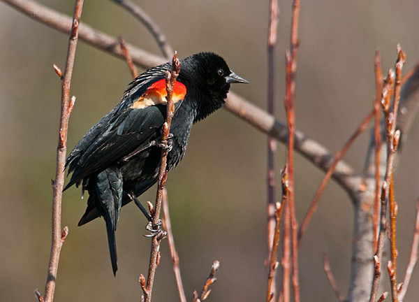 "<div class=""jaDesc""> <h4>Male Red-winged Blackbird in Serviceberry Tree - March 19, 2010</h4> <p> This male Red-winged Blackbird landed on a young sprig in our serviceberry tree.  He has his tail straight down to assist with his balance because the sprig was swaying with his weight.</p> </div>"