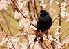 "<div class=""jaDesc""> <h4>Red-winged Blackbird in Flowering Serviceberry Tree - April 2, 2012</h4> <p> The 60-70 degree weather brought out the early blooming serviceberry blossoms, but they quickly wilted after 2 nights of hard frost. They still make a nice backdrop for this male Red-winged Blackbird on a rainy day.</p> </div>"