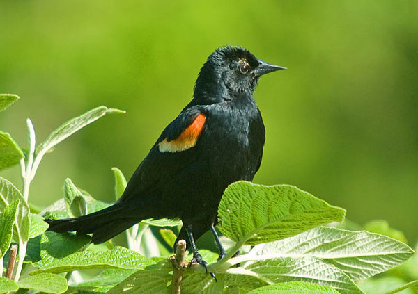 """<div class=""""jaDesc""""> <h4>Male Red-winged Blackbird in Viburnum Bush - June 2, 2009</h4> <p>  We have about 6 male Red-winged Blackbirds that visit our feeders all day long.  They guard their nests at our neighbor's pond when they are not down here.</p> </div>"""