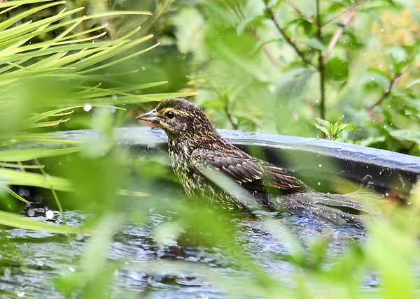 "<div class=""jaDesc""> <h4>Immature Female Red-winged Blackbird Bathing - July 23, 2018</h4> <p>Even though we have 4 birdbaths, she discovered the shallow water in the back of the waterfall unit for her own private bath. </p></div>"
