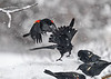 """<div class=""""jaDesc""""> <h4>Red-winged Blackbirds - Airborne Again - March 2, 2018</h4> <p>I have figured out over the years that whoever gets higher wins.  Tail flare is a sign of aggression as well.  They finally gave it up after a few minutes and went about feeding.</p></div>"""