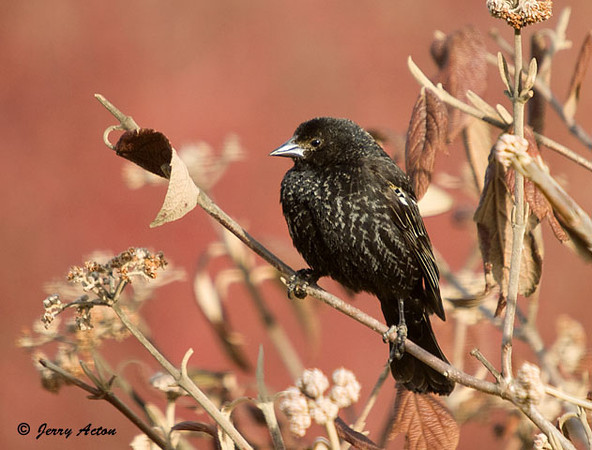 "<div class=""jaDesc""> <h4>Red-winged Blackbird - 1st Year Male - March 25, 2009</h4> <p>  This is an immature first year male Red-winged Blackbird.  He has some of the flecking on his breast like a female and his red wing is mostly obscured.  He definitely defers to the adult males.</p> </div>"