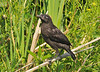"<div class=""jaDesc""> <h4>Juvenile Red-winged Blackbird Exploring - May 27, 2010</h4> <p>  This newly fledged Red-winged Blackbird was hopping around through weeds growing along a drainage ditch. His parents were protectively following along.</p> </div>"
