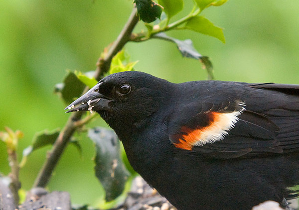 """<div class=""""jaDesc""""> <h4>Red-winged Blackbird in Holly Bush - June 21, 2009</h4> <p>  From looking at this close-up of a Red-winged Blackbird in our holly bush, you would not know that he has a deformed claw.  He looks alert, healthy and has a good appetite.</p> </div>"""