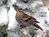 "<div class=""jaDesc""> <h4>Female Red-winged Blackbirds - 1st of Year - March 7, 2011</h4> <p>  I was surprised to see 4 female Red-winged Blackbirds in the large blackbird flock. Normally, the females do not arrive until a week to 10 days after the males come through.</p> </div>"