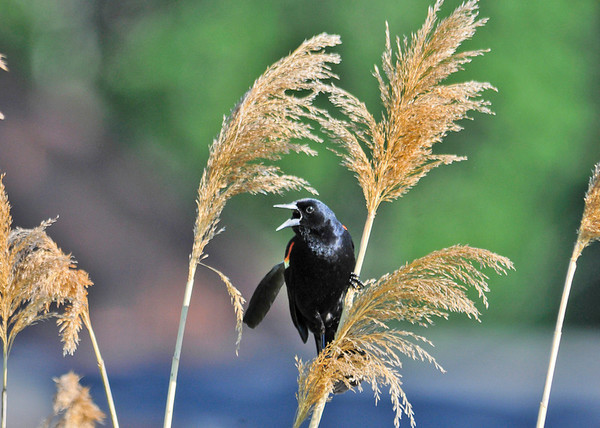 """<div class=""""jaDesc""""> <h4>Male Red-winged Blackbird on Ornamental Grass - June 4, 2014</h4> <p> A neighbor invited me over to his pond where lots of Red-winged Blackbird pairs are nesting.  This male was guarding his nest, perching on the ornamental grass growing along the pond edge.   He had one wing feather sticking out, not quite ready to let go.</p> </div>"""