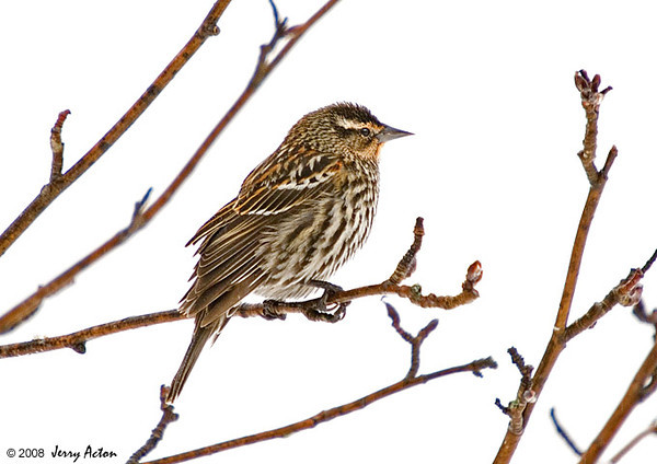 "<div class=""jaDesc""> <h4>Female Red-winged Blackbird - March 27, 2008</h4> <p>  This is one of eight female Red-winged Blackbirds that showed up today to give all the males lots of reason to screech, posture and strut about.</p> </div>"