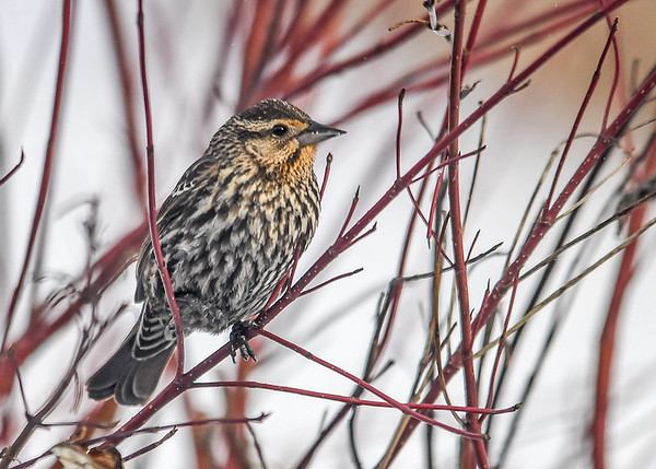 "<div class=""jaDesc""> <h4>Female Red-winged Blackbird - 1st of Year - March 11, 2017</h4> <p>During the snow storm, we had 6 female Red-wings show up.  The males had already been here for about 3 weeks. </p></div>"
