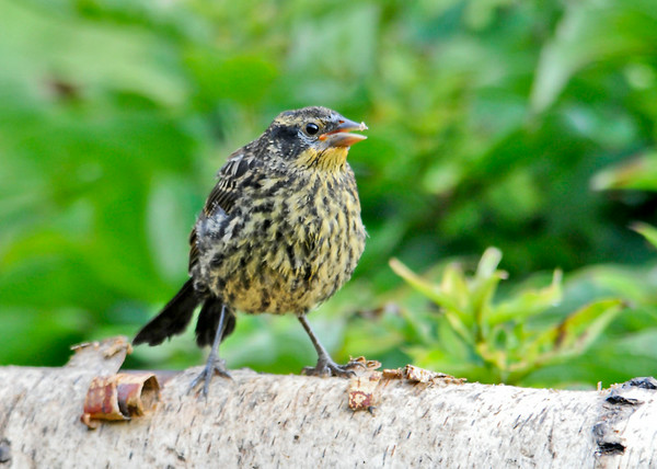 "<div class=""jaDesc""> <h4>Juvenile Red-winged Blackbird Looking for Breakfast - August 6, 2014</h4> <p> I had not yet fed the birds this morning when I noticed this juvenile Red-winged Blackbird searching for seed.  This youngster is from the second clutch of chicks.</p> </div>"