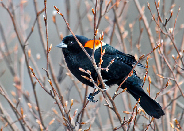 "<div class=""jaDesc""> <h4>Male Red-winged Blackbird in Sunshine - March 25, 2014</h4> <p> What a difference a few days makes this time of year.  Instead of a snow storm, the sun is shining and it feels like Spring has finally arrived.</p> </div>"