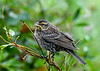 "<div class=""jaDesc""> <h4>Female Red-winged Blackbird - August 6, 2020</h4> <p>Mother Red-winged Blackbird on top of bush. </p></div>"