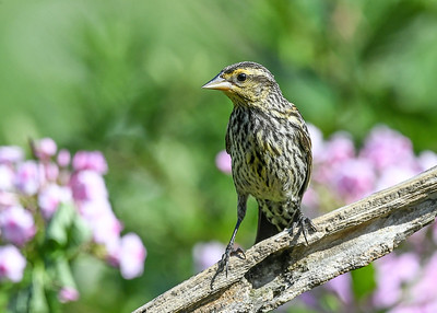 Juvenile Female Red-winged Blackbird - August 6, 2020 She has lots more yellow feathering than Mom.