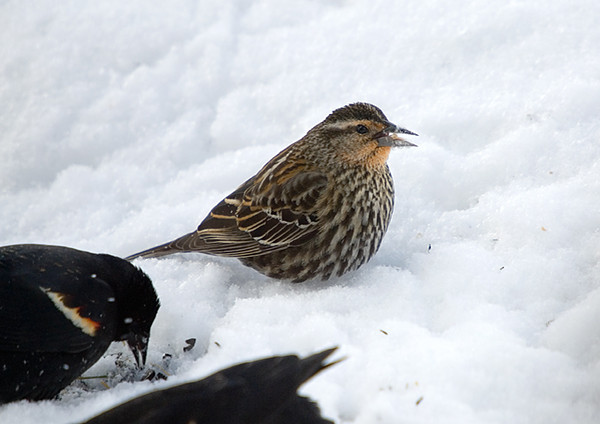 "<div class=""jaDesc""> <h4>Female Red-winged Blackbird in Snow - March 9, 2008</h4> <p>  When the 250+ Blackbirds descended on our backyard last week, there were only 2 female Red-winged Blackbirds that I could spot in among all those males.  They sure had their pick.  One female stuck around and now has about 8 males vying for her attention.</p> </div>"