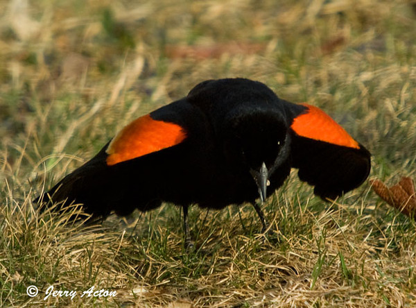 "<div class=""jaDesc""> <h4>Male Red-winged Blackbird Displaying Wingbars - March 25, 2009</h4> <p>  This male was ground feeding among about 20 other male Red-winged Blackbirds.  When he dipped his head, screeched and displayed his wingbars, all the others scooted away and gave him lots of room.</p> </div>"