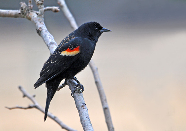 "<div class=""jaDesc""> <h4>Red-winged Blackbird - 1st of Year - February 23, 2012</h4> <p>  I have been hearing about sightings of large flocks of Red-winged Blackbirds. This morning we had our 1st one arrive. He hung around most of the day calling in the treetops for others to join him.</p> </div>"
