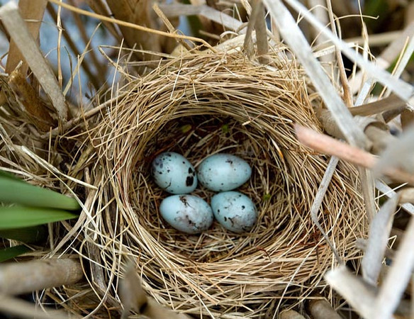 "<div class=""jaDesc""> <h4> Red-winged Blackbird Nest with 4 Eggs - May 29, 2009</h4> <p> Each of the Red-winged Blackbird eggs has random black marks on the beautiful blue base color.  The birds guard their nest very aggressively - I was not welcome.</p> </div>"