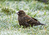 "<div class=""jaDesc""> <h4>Female Red-winged Blackbird in Frosty Grass - October 19, 2008</h4> <p>  I haven't seen any Red-winged Blackbirds in quite awhile.  This female showed up early in the morning to ground feed in the frosty grass.  I think she must be a first year female, since she doesn't have the coloring around the throat and eyes that the adult females have.  Most of the Red-winged Blackbirds headed south over a month ago.</p> </div>"