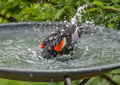 Red-winged Blackbird Full Body Wash - June 9, 2018 I refill 4 birdbaths daily with all the water that gets splashed out.