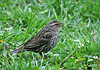 "<div class=""jaDesc""> <h4>Female Red-winged Blackbird Ground Feeding - May 9, 2010</h4> <p>  This is one of 3 female Red-winged Blackbirds that hang out with the 16 males.  I'm not sure which male she has decided on as a partner, but she ground feeds alone in the tall grass.  The males are all posturing nearby.</p> </div>"