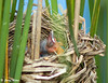 "<div class=""jaDesc""> <h4>Red-winged Blackbird Chick Chin Up - June 30, 2009</h4> <p>  </p> </div>"