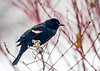 "<div class=""jaDesc""> <h4>Red-winged Blackbird on Snowy April Day - April 6, 2018</h4> <p>Another snowy April morning brought about a dozen Red-winged Blackbirds to our feeder areas.  This poor bush is trying to bud out. </p></div>"