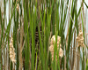 "<div class=""jaDesc""> <h4> Well Hidden Red-winged Blackbird Nest - May 29, 2009 </h4> <p> This Red-winged Blackbird Nest was tucked deep inside a group of cattails.  I had to look very carefully to even find it.</p> </div>"