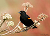 "<div class=""jaDesc""> <h4>Male Red-winged Blackbird in Viburnum - April 21, 2008</h4> <p>  I finally had a nice sunny day to get a better shot of the black on one of the male Red-winged Blackbirds.  He cooperated nicely by perching in the budding viburnum bush.  Tossing sunflower seeds on the ground around the bush helped.</p> </div>"