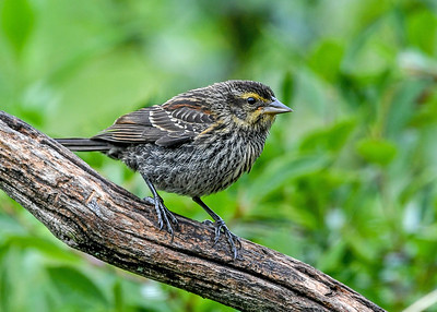 Female Red-winged Blackbird on Perch - August 6, 2020