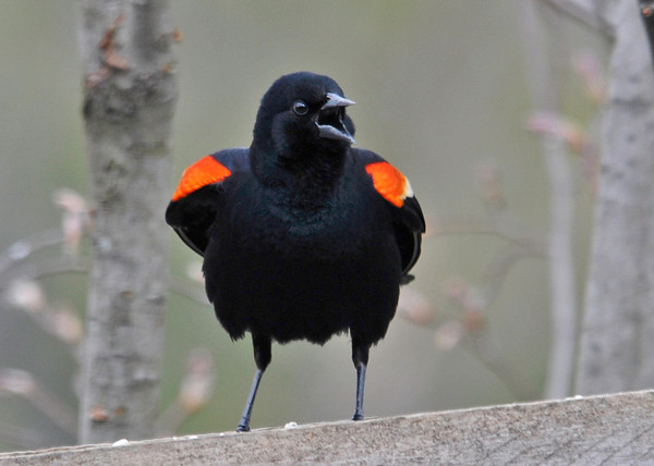 "<div class=""jaDesc""> <h4>Male Red-winged Blackbird Screeching - Front View - April 26, 2014</h4> <p> </p> </div>"