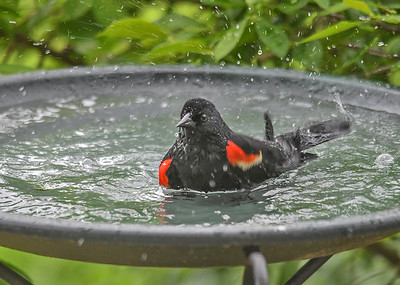 Red-winged Blackbird Starting Bath - June 9, 2018 As the days have gotten warmer, the birdbaths are getting used a lot.