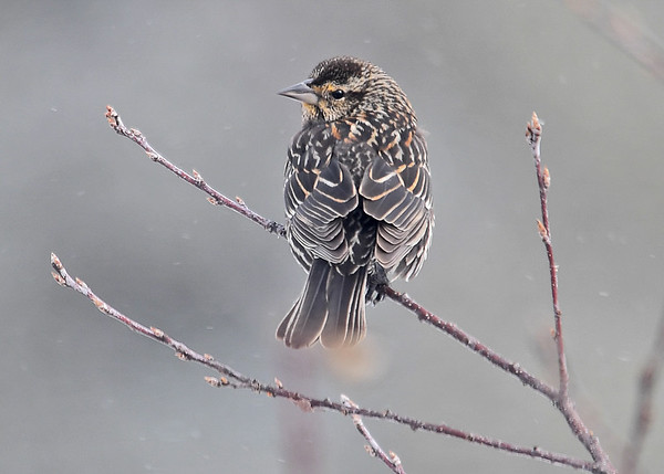 "<div class=""jaDesc""> <h4>Female Red-winged Blackbird Back View - March 11, 2017</h4> <p> </p></div>"