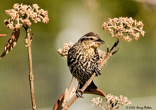 "<div class=""jaDesc""> <h4>Female Red-winged Blackbird in Viburnum - April 17, 2008</h4> <p>  I've seen only a few female Red-winged Blackbirds around, so some of the males are going to be disappointed.  This gal gave me a nice opportunity when she landed in one of our viburnum bushes.</p> </div>"