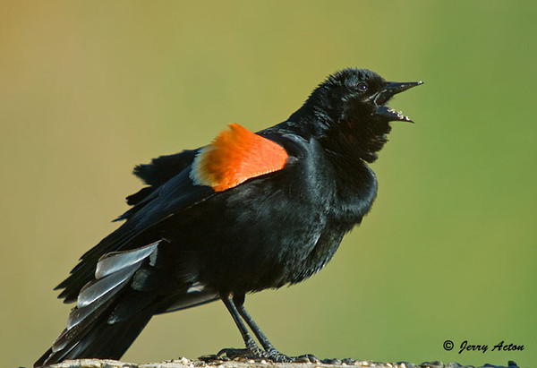 "<div class=""jaDesc""> <h4>Red-winged Blackbird Screeching - April 19, 2009</h4> <p>  We still have a flock of about 50 Red-winged Blackbirds.  The males are showing off their red wingbars to impress the females.</p> </div>"
